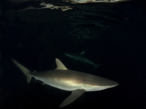 Shark from Revillagigedo Archipelago Photographic Print by Luis Javier Sandoval