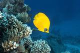 Masked Butterfly Fish, Chaetodon Semilardartus, St Johns Reef, Red Sea Reprodukcja zdjęcia autor Oxford Scientific