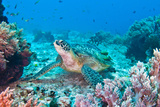 Green Turtle Photographic Print by Wendy A. Capili