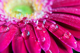 Gerbera Rain Droplets Photographic Print by Michelle McMahon