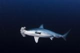 Hammerhead Shark Photographic Print by Kadu Pinheiro
