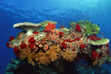 Reef Scenic of Hard Corals , Soft Corals and Tropical Fish , Malaysia Photographic Print by  Comstock