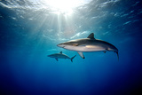 Silky Sharks Photographic Print by James R.D. Scott