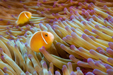 Pink Anemonefish Photographic Print by James R.D. Scott
