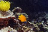 Herald's Angelfish (Centropyge Heraldi) Swimming Underwater, North Sulawesi, Sulawesi, Indonesia Reprodukcja zdjęcia autor Glowimages