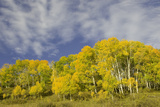 Aspens in Fall Photographic Print by Donovan Reese