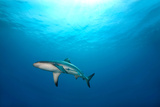 Grey Reef Shark Photographic Print by James R.D. Scott
