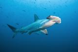 Scalloped Hammerhead Shark, Galapagos Islands. Fotografisk tryk af Michele Westmorland