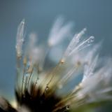 Dandelion Puff with Water Drop Photographic Print by Lauren Rosenbaum