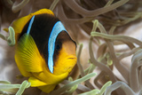 Clark's Anemonefish Photographic Print by Lea Lee