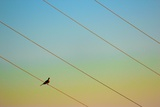 Sitting on Power Lines Photographic Print by Karol Franks