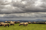 Sheep Grazing on a Mountain Pasture Photographic Print by Neil Howard