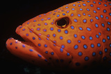 Coral Grouper Photographic Print by Jeff Rotman