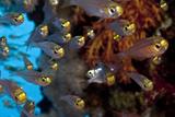 Glassfishes Reprodukcja zdjęcia autor Lea Lee