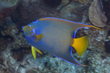 Queen Angelfish on Tropical Coral Reef Photographic Print by Jeff Hunter