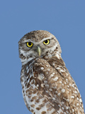 Burrowing Owl (Athene Cunicularia) Photographic Print by James Urbach