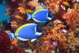 Powder-Blue Surgeonfish Reprodukcja zdjęcia autor Georgette Douwma