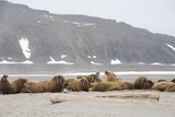 Walrus Colony on Arctic Beach Photographic Print by Anna Henly