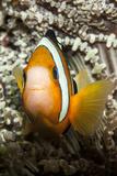 Clark's Anemonefish Reprodukcja zdjęcia autor Lea Lee