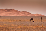 Camels with Dunes in Morocco Photographic Print by Artur Debat