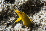 Ribbon Eel (Female) Photographic Print by Lea Lee