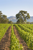 A Lush Green Vineyard in Napa Valley, California Photographic Print by Billy Hustace