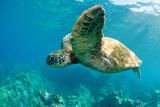 Sea Turtle Fly Fotografisk tryk af M Sweet