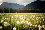 Dandelion Field Photographic Print