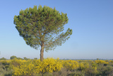 Europe, Spain, Andalusia, View of Pine Tree in Spring at Donana National Park Photographic Print by  Westend61