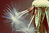 Dandelion with Droplets Lámina fotográfica