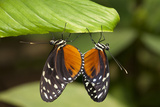 Tiger Longwing Butterfly, Costa Rica Photographic Print by Paul Souders