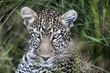Leopard (Panthera Pardus), close Up Photographic Print by Regis Vincent