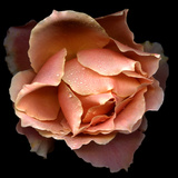 Salmon Rose Photographic Print by Photograph by Magda Indigo
