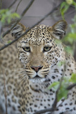 Leopard (Panthera Pardus) Fotografisk tryk af Richard Packwood
