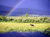 Moose in Marsh Photographic Print by Christopher Kimmel