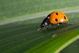 Ladybug on Sweetcorn Leaf Photographic Print by Tony Emmett