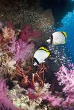 Coral Reef Scenery with Butterflyfish Reprodukcja zdjęcia autor Georgette Douwma