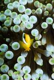 Baby Anemonefish Reprodukcja zdjęcia autor Lea Lee