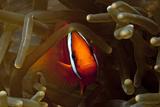 Tomato Anemonefish Reprodukcja zdjęcia autor Lea Lee