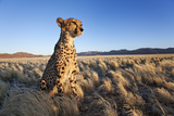 Cheetah in Desert Environment. Photographic Print by Martin Harvey