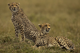 Cheetahs Scanning the Plains Photographic Print by Manoj Shah