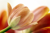 Peach Tulips Photographic Print by Image by Catherine MacBride