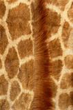 Giraffe Fur Photographic Print by Siede Preis