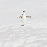 Antarctica Chinstrap Penguin on Halfmoon Island Photographic Print by Ralf Hettler