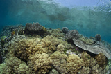 Healthy Corals Living near the Ocean's Surface Photographic Print by Stephen Frink