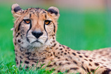 Cheetah in Grass Photographic Print by Picture by Tambako the Jaguar