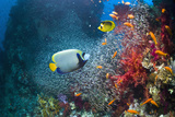 Coral Reef with Emperor Angelfish Photographic Print by Georgette Douwma