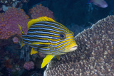 Colorful Tropical Fish Photographic Print by Jeff Hunter