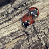 Ladybirds Photographic Print by  BlackCatPhotos