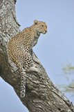Leopard on a Lookout Photographic Print by Aditya Singh